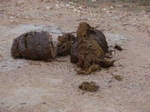 Elephant Dung in the Wild