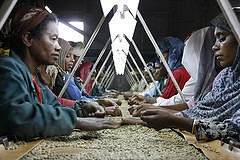 coffee sorting