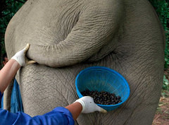 elephant poop coffee